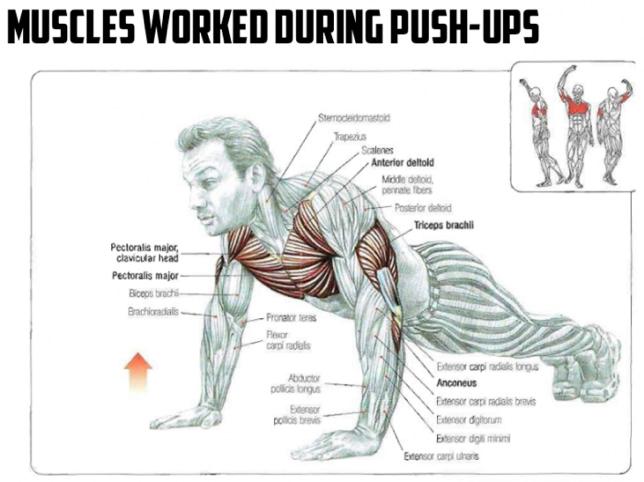 push up spieren